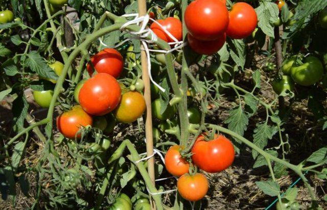Формирование помидор в один стебель