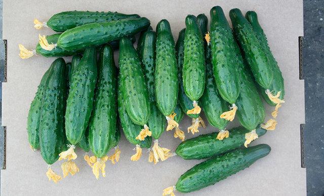 Огурец Мамлюк: технология выращивания, описание сорта, фото, отзывы