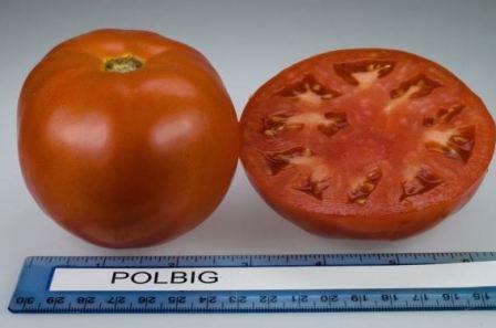 Томат Полбиг f1: описание сорта, фото, отзывы, урожайность