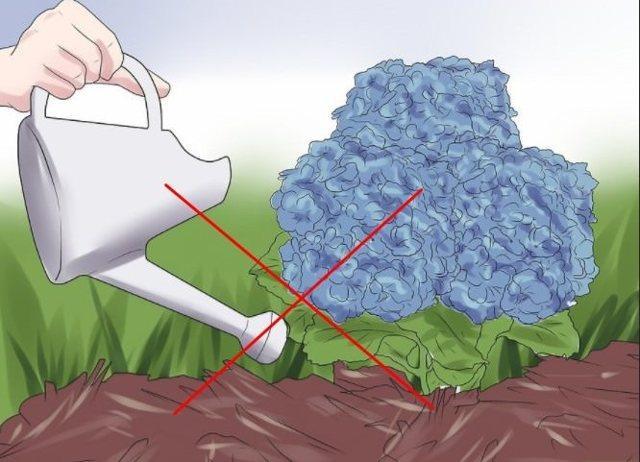 Чем подкормить гортензию осенью: после обрезки, перед укрытием, видео