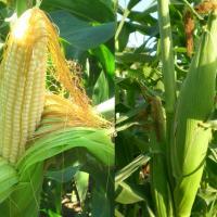 Кукуруза Лакомка: описание сорта, посадка и уход, болезни и вредители
