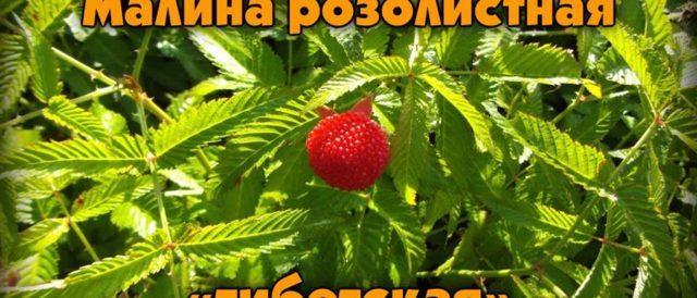 Описание сортов малины и фото