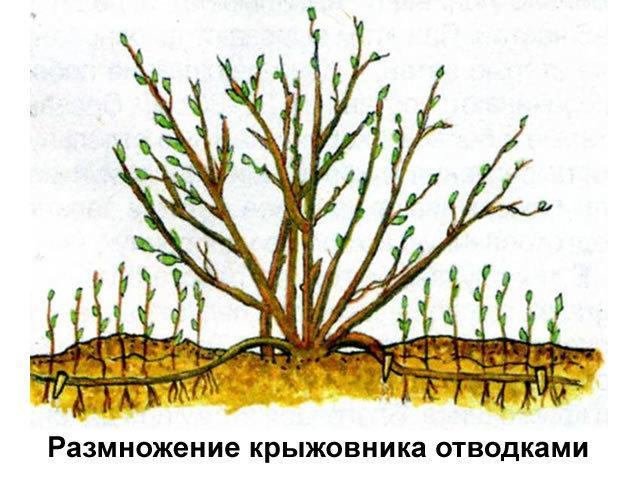 Крыжовник Краснославянский: описание сорта, фото, отзывы