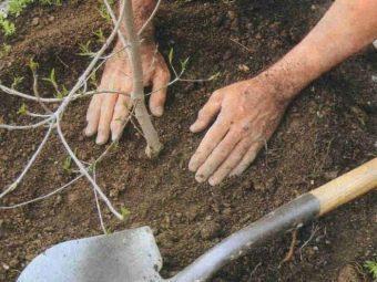 Черешня Дайбера: описание сорта, опылители, фото, отзывы