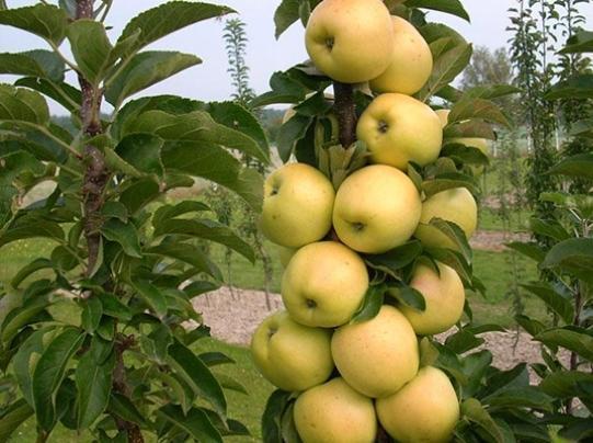 Колоновидная яблоня Медок: описание сорта, фото, отзывы