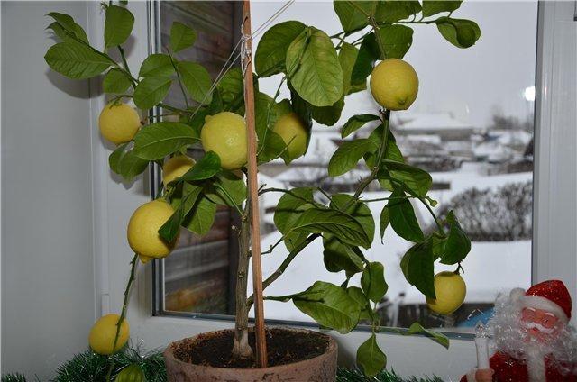Павловский лимон: описание сорта, уход в квартире, болезни