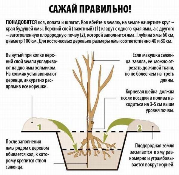 Черешня Астахова: описание сорта, фото, отзывы, зимостойкость, опылители