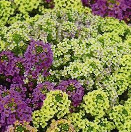 Алиссум - выращивание из семян: когда сажать в домашних условиях, фото