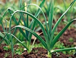 Лук-порей: выращивание и уход в Сибири, сроки посадки, лучшие сорта