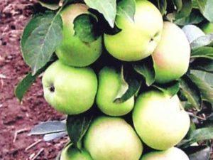 Колоновидная яблоня Президент: описание сорта, фото, отзывы