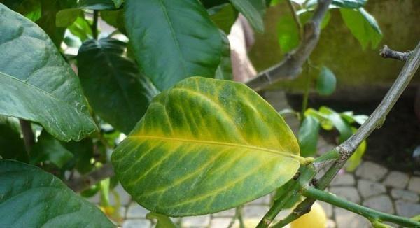 Почему у лимона опадают листья и что делать