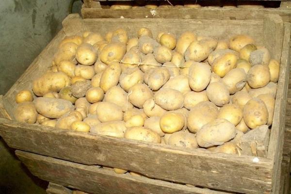 Как хранить картофель зимой в погребе: как лучше сохранить картошку