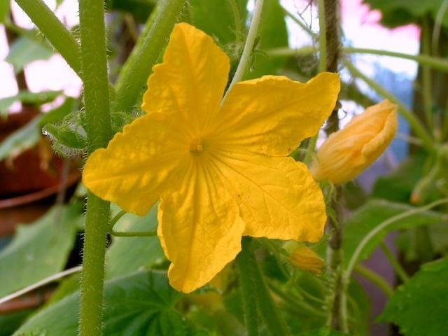 Огурец Балконное чудо f1: выращивание, отзывы