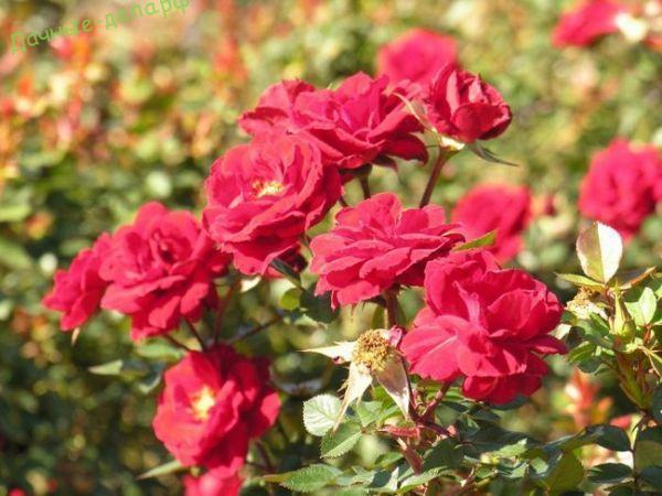 Как укрывать плетистые розы на зиму: правила укрытия, видео