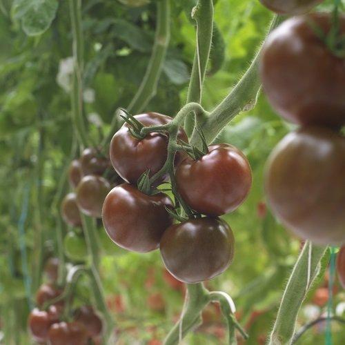 Помидоры Кумато: полезные свойства черных томатов, описание, отзывы и фото.