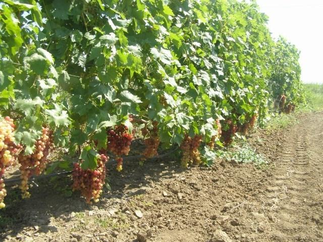 Виноград Преображение: описание сорта, фото, отзывы, видео