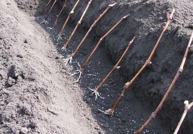 Посадка винограда в Подмосковье осенью: выбор сорта, сроки, уход