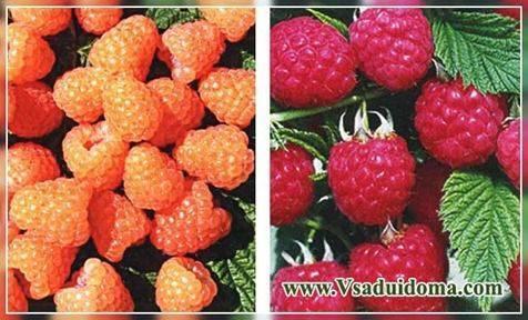 Малина Осенняя красавица: описание сорта, фото, отзывы