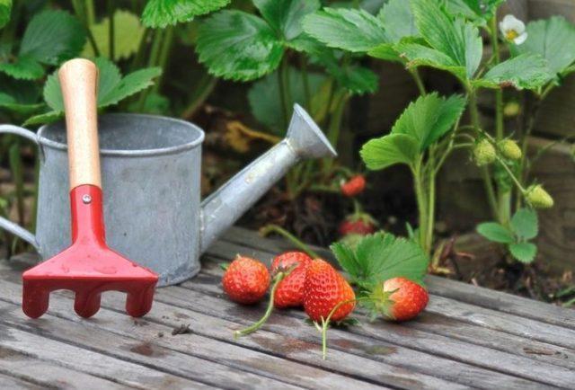 Как удобрить клубнику дрожжами