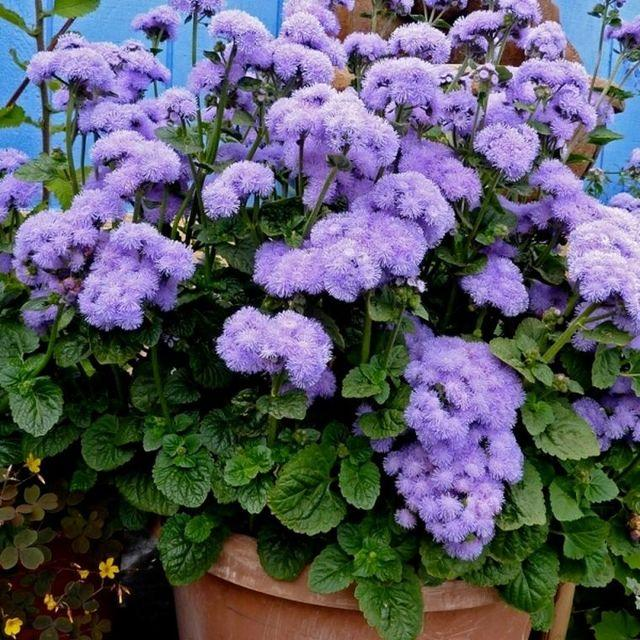 Агератум Голубая норка: выращивание из семян, фото