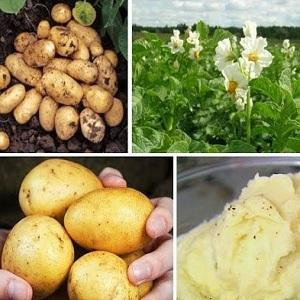 Картофель Адретта: описание сорта, фото, отзывы