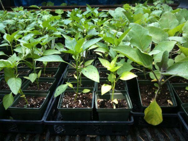 Перец Али Баба: описание сорта, уход, урожайность, фото, отзывы