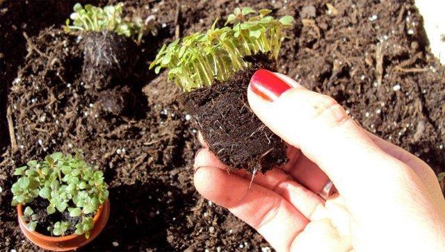 Львиный зев: выращивание из семян, когда сажать