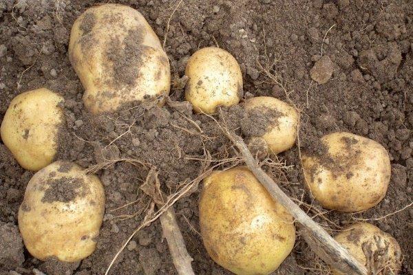Картофель Голубизна: описание сорта, фото, отзывы