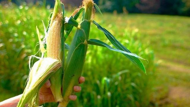 Посадка кукурузы семенами в открытый грунт: технология выращивания и уход