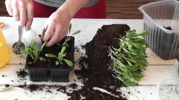 Как пикировать перец на рассаду