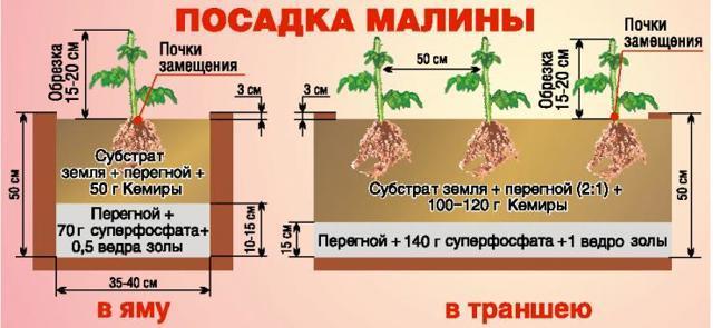 Описание малины сорта Киржач