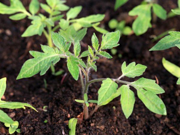Томат Чухлома: отзывы, фото, урожайность
