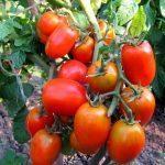 Суперфосфат подкормка для томатов