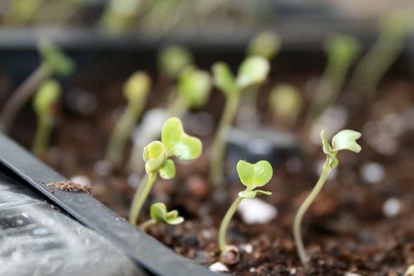 Капуста Романеско: выращивание и уход