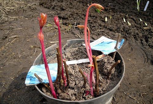 Когда рассаживать пионы: весной или осенью, сроки