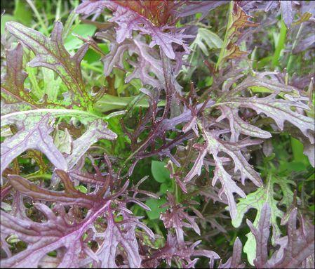 Японская капуста Мизуна: выращивание и уход