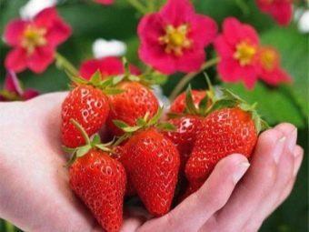 Клубника Тоскана: описание сорта, фото, отзывы, агротехника выращивания