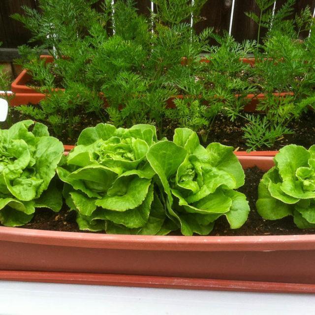 Зелень на подоконнике зимой для начинающих