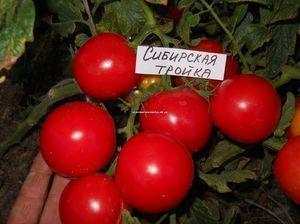 Томат Сибирская тройка: характеристика и описание сорта