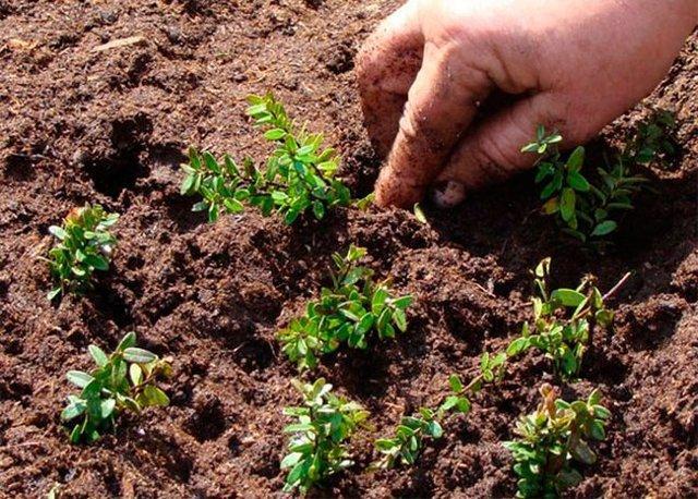 Клюква садовая: фото, отзывы, как вырастить