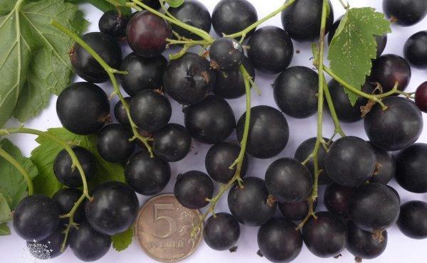 Черная смородина Пигмей: описание сорта, фото, отзывы.