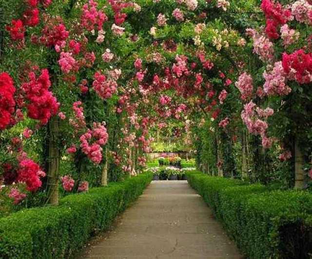 Розы Остина в ландшафтном дизайне + видео