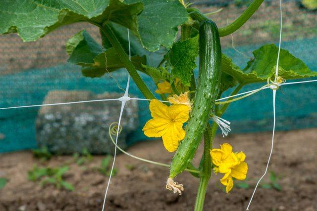 Огурцы Изумрудный поток f1: описание сорта, выращивание, фото, отзывы