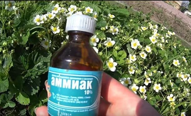 Обработка клубники нашатырным спиртом