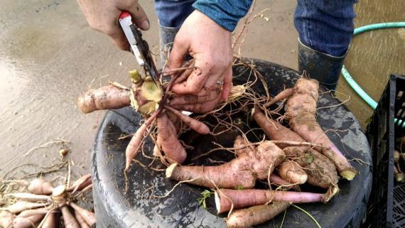 Георгины на зиму: когда выкапывать и как хранить