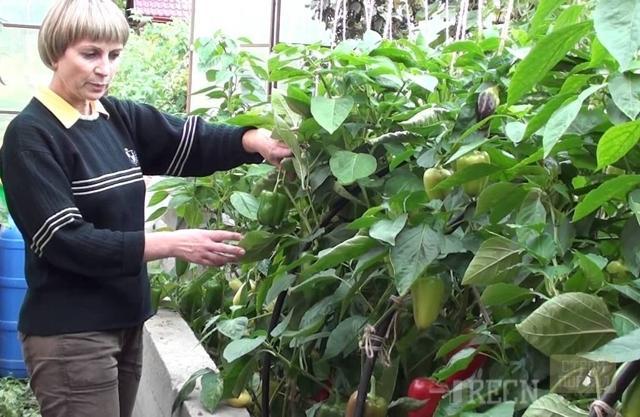 Зачем нужно удобрять рассаду перца