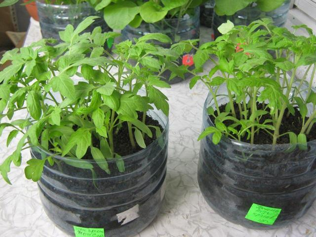 Как вырастить рассаду помидор в пластиковой бутылке