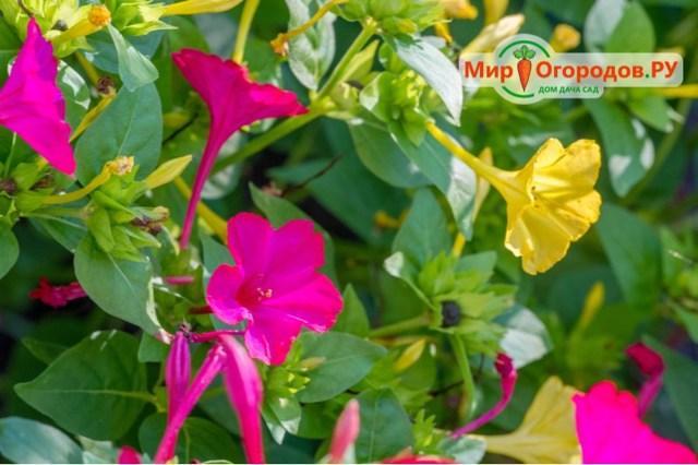 Мирабилис Ночная красавица: описание + фото