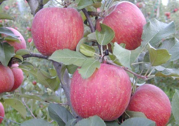 Яблоки Фуджи: где растут, характеристика, посадка, отзывы