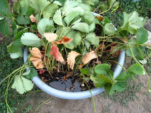 Посадка клубники осенью усами: как рассадить и обновить